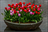 Amsterdam Tulip Festival 14 by corngrowth, photography->flowers gallery
