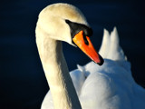 The Silent Swan by braces, Photography->Birds gallery
