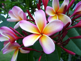 Plumeria Beauty by OrchidLadyLinda, Photography->Flowers gallery