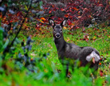 Oh Deer by biffobear, photography->animals gallery