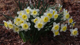 Daffs In Bloom by jerseygurl, photography->flowers gallery