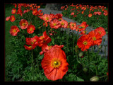 Dancing Poppies by LynEve, Photography->Flowers gallery
