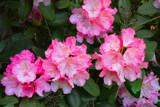 Rhododendrons by Ramad, photography->flowers gallery