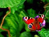 Penblwydd Hapus Jo #2 by braces, Photography->Butterflies gallery
