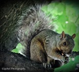 Squirrel by GIGIBL, photography->animals gallery