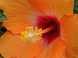 Hibiscus by ccmerino, Photography->Macro gallery