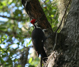 Woody WoodPecker by Freedom96, Photography->Birds gallery