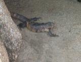 lizard by karetekai, Photography->Animals gallery