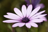 Purple Core Daisy by elektronist, photography->flowers gallery