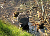 Coot by biffobear, Photography->Birds gallery