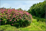 Roses In The 'Wild' by corngrowth, photography->flowers gallery