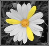 Mercedes Daisy by ccmerino, photography->manipulation gallery