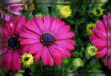 Another Osteospermum by trixxie17, photography->flowers gallery