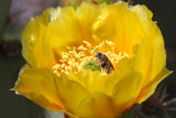 a bee in a cactus flower by jeenie11, Photography->Insects/Spiders gallery
