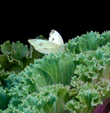 Cabbage White on Cabbage! by trixxie17, photography->butterflies gallery