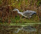 A Dismal by biffobear, photography->birds gallery