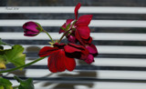 My Friday Contribution-The Geranium by tigger3, photography->flowers gallery