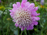 Allium by trixxie17, photography->flowers gallery