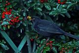 Berry nice by biffobear, Photography->Birds gallery