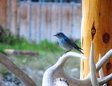 Mountain Blue Bird by busybottle, photography->birds gallery