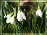the snowdrop... by fogz, Photography->Flowers gallery