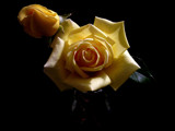 Yellow Roses in the spotlight by OrchidLadyLinda, Photography->Flowers gallery