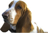 Bassett Hound Jolie by ccmerino, photography->pets gallery