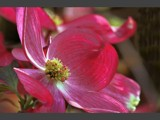 Dogwood Blossom by photoimagery, Photography->Flowers gallery