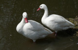 A pair of Coscoroba Swans by gonedigital, photography->birds gallery