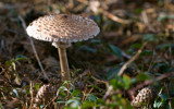 A parasol (Macrolepiota procera) by ppigeon, Photography->Mushrooms gallery