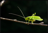 Katydid by phasmid, photography->insects/spiders gallery