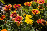 Indian Blanket Flowers and Marigolds by Pistos, photography->flowers gallery