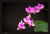 My Orchids - Part 4 by Toto_san, Photography->Flowers gallery