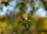 Apple Blossom Buds by Mitsubishiman, photography->flowers gallery