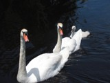 Swans by Linda Coleman used with permission by Bsm1, photography->birds gallery