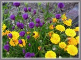 Calendula & Chive Blossoms by LynEve, photography->flowers gallery