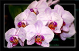F² Orchids 2 by corngrowth, photography->flowers gallery