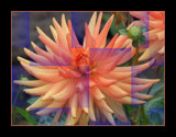 Blazing Dahlia Effects by verenabloo, Photography->Manipulation gallery
