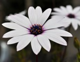 Osteospermum -2- by ventiol, photography->flowers gallery