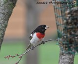 The Male Rose-Breasted Grosbeak by tigger3, photography->birds gallery