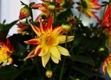 A Dahlia For Friday by tigger3, photography->flowers gallery