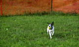 Willow Loves Flyball by tigger3, photography->action or motion gallery