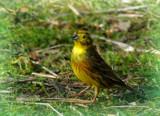 Yellowhammer by biffobear, photography->birds gallery