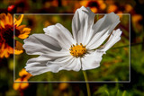 Mexican Aster (Cosmos Bipinnatus) 4 by corngrowth, photography->flowers gallery