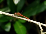 Sympetrum vulgatum? by stormdancer, Photography->Insects/Spiders gallery