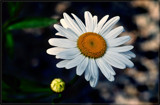 She Loves Me, She Loves Me Not by corngrowth, photography->macro gallery