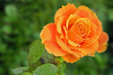 Orange Rose by Ramad, photography->flowers gallery