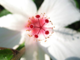 white flower from athens by Helge, Photography->Flowers gallery