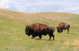 Black Hills 5 ~ Molting by Nikoneer, photography->animals gallery
