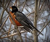 Robin 1 by picardroe, photography->birds gallery